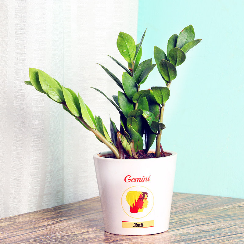 Zamia Plant in Personalised Vase for Gemini People