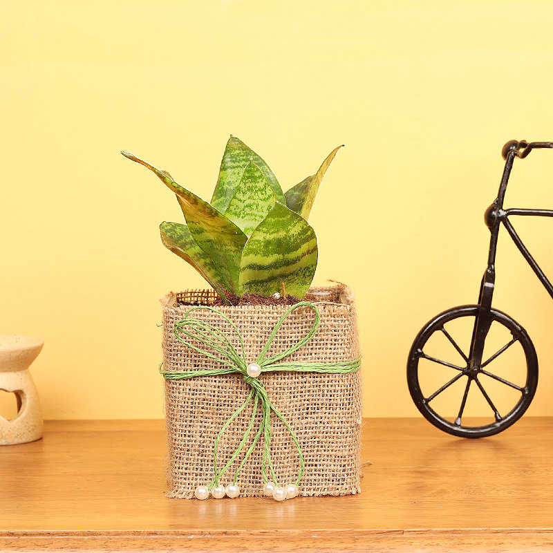 Sansevieria Plant in Jute Wrapping