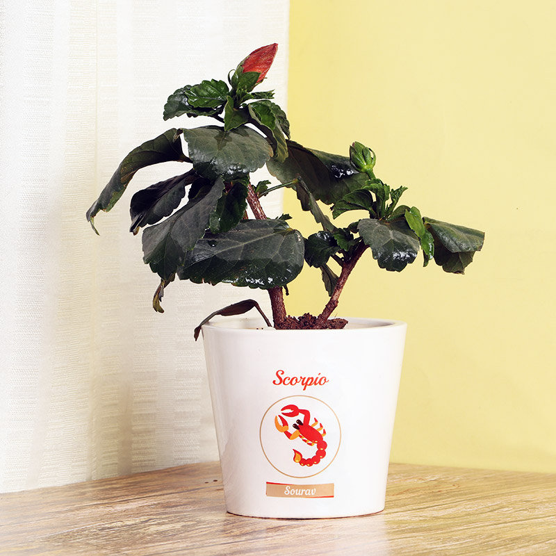 Hibiscus Plant in Personalised Vase for Scorpion People