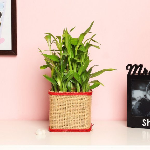 2 Layer Lucky Bamboo in Jute Packing