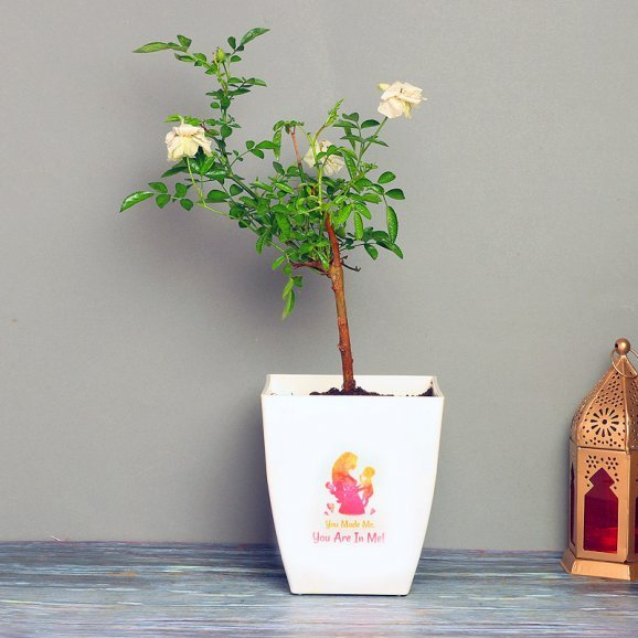 White Rose Plant in a Vase for Mom