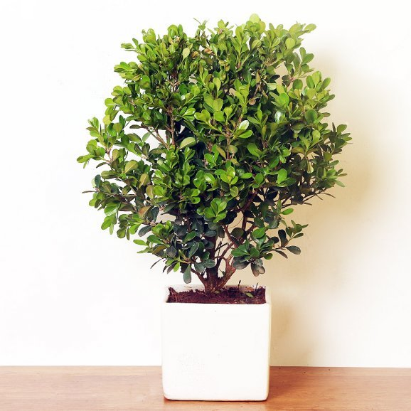 Boxwood Bonsai in a Vase
