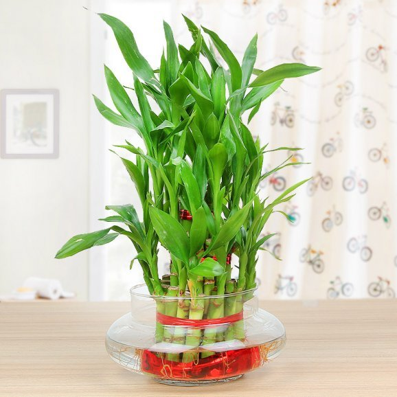 Lucky bamboo - 2nd gift of Charming Lucky Love