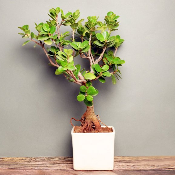 Ficus Iceland Bonsai in White Vase