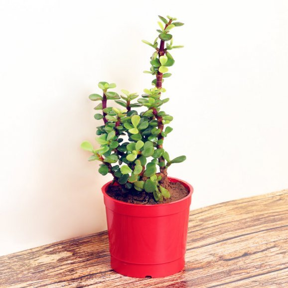 Cute Jade Plant in a Vase