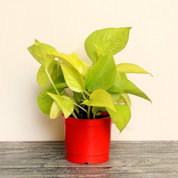 Golden Money Plant in a Vase