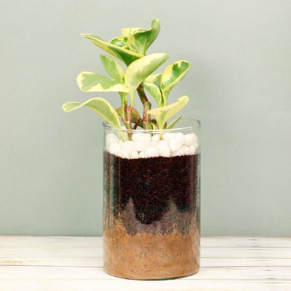 Peperomia Plant in a Glass Vase