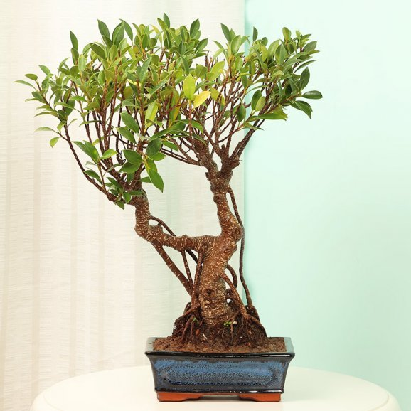 Ficus Old Roots Bonsai in a Vase