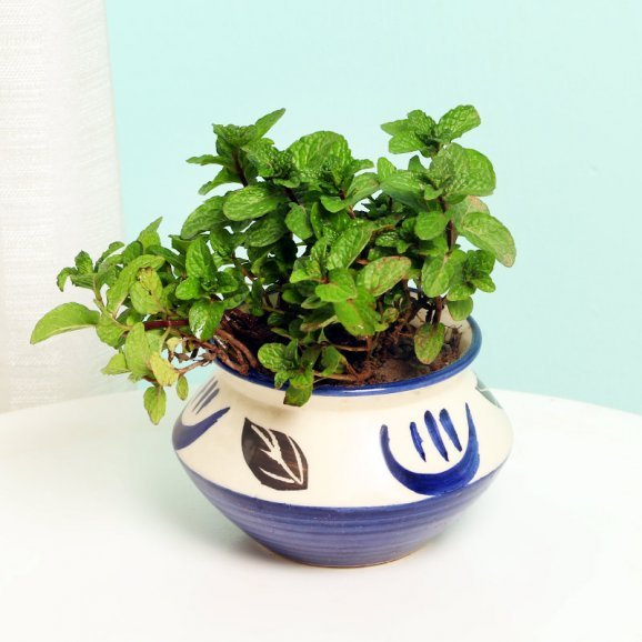 Mint Plant in a Vase