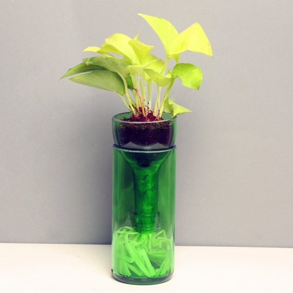 Money Plant in Green Glass Vase
