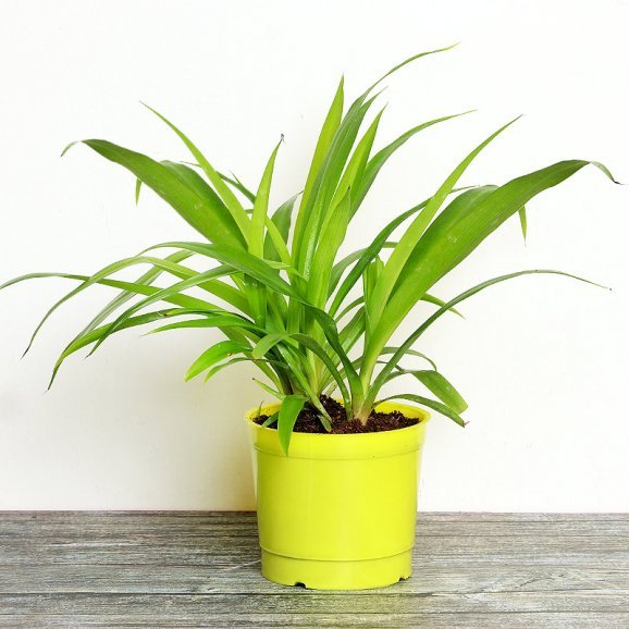 Lime Philodendron Plant in a Vase