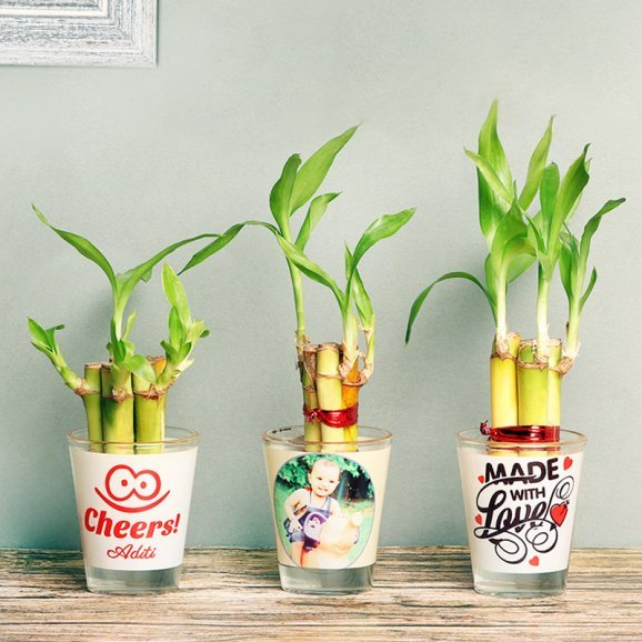 Lucky Bamboo Plants in Customised Shot Glasses