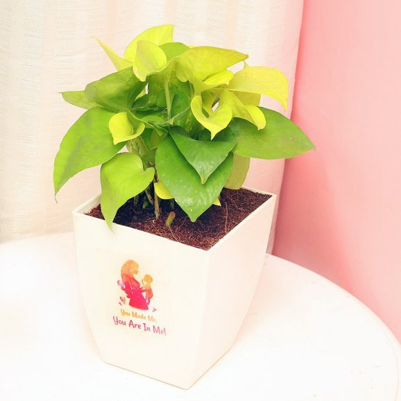 Money Plant in a White Vase for Mother
