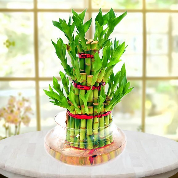 lucky bamboo 3 layer