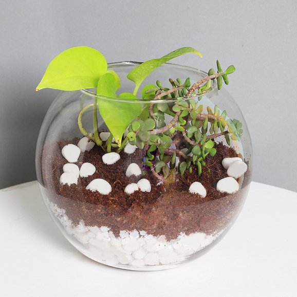 Money Plant And Jade Terrarium with Pebbles