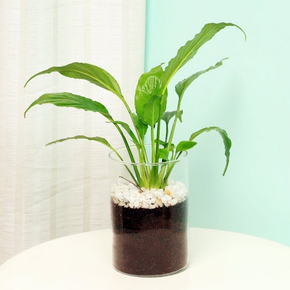 Peace Lily Plant in a Glass Vase