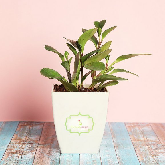 Peperomia In A Chatura Pot