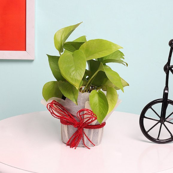 Money Plant in White Gift Wrap