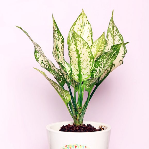 Silver Aglaonema Plant in a Personalised Birthday Vase