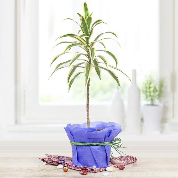 Song Of India Variegated Plant