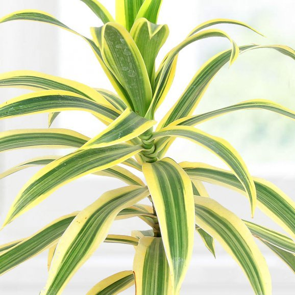 Zoom in view of Song Of India Variegated Plant