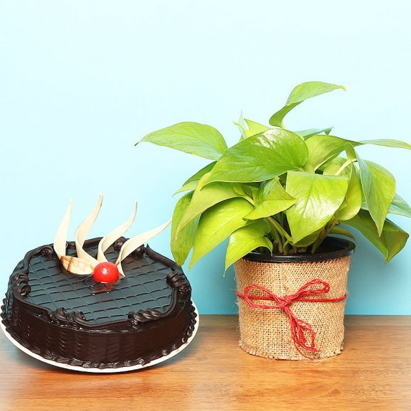 Combo of Money Plant with Truffle Cake
