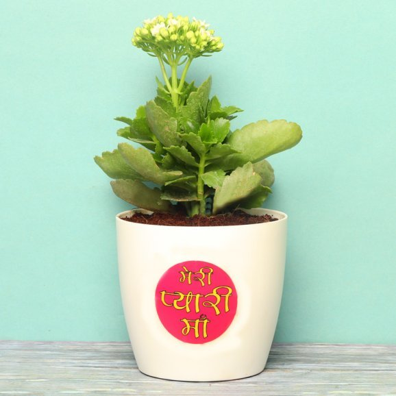 Kalenchoe Plant in a Vase for Mom