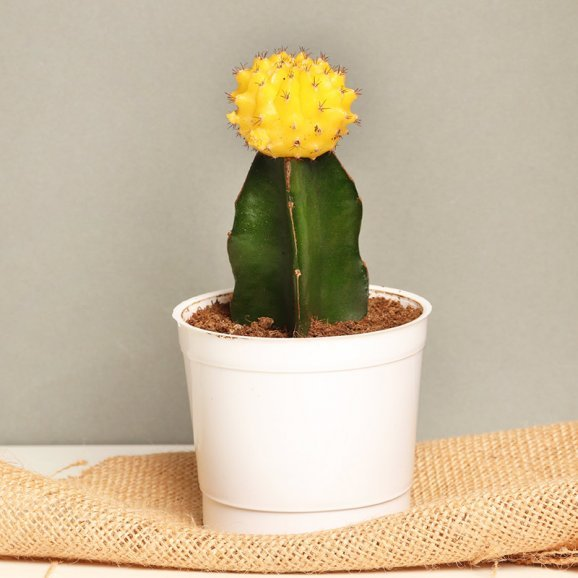 Yellow Moon Cactus Plant in a Vase