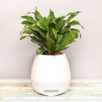 3 In 1 Dracena Compacta Musical Planter