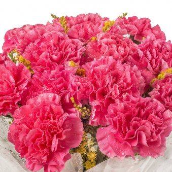 20 Pink Carnations with Zoomed View
