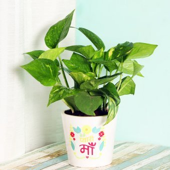 Green Money Plant in White Vase for Mom