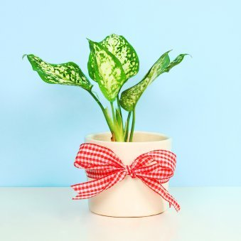 Aglaonema Plant in a Pot