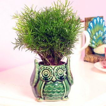 Aspargus Foxtail Plant in Owl Shaped Vase