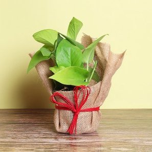 Money Plant in Jute Packing