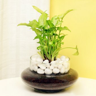 Terrarium Plants Terrarium Online In India Free Shipping