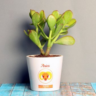 Crassula Ovata Plant in Personalised Vase for Aries People