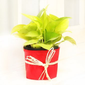 Money Plant in a Vase Wrapped with Red Paper