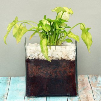 Syngonium Plant in a Squarical Glass Vase