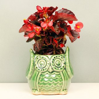 Begonia Plant in Owl Shaped Vase