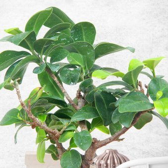 Zoomed view of Bonsai Ficus Plant