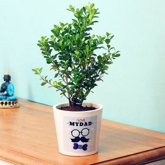 Boxwood Plant in White Vase for Dad