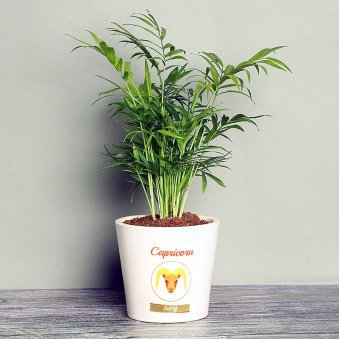 Chamaedorea Plant in Personalised Vase for Capricorn People
