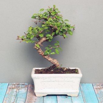 Carmona S shaped Bonsai Plant in a Vase