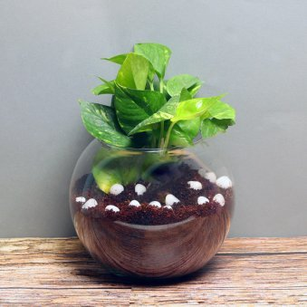 Terrarium Money Plant