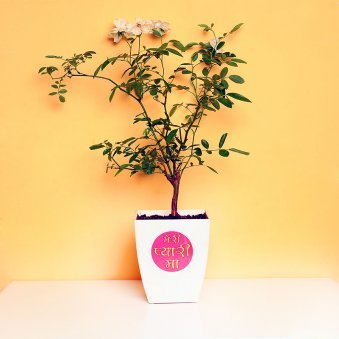 Charming Rose Plant For Mom - A Flower Plant Gift
