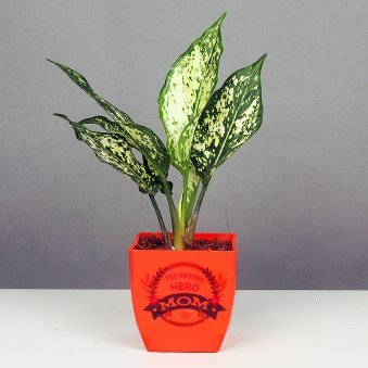 Aglaonema Plant in Orange Vase for Mom