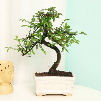 Chinese Elm in a Vase