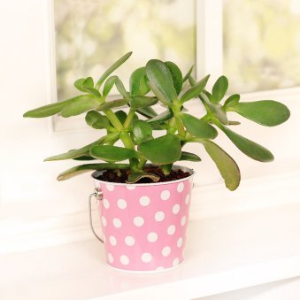 Crassula Ovata Plant in Polka Bucket Metallic Vase