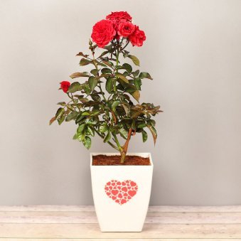 Red Rose Love Plant