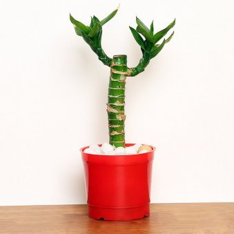 Cut Leaf Bamboo Plant in a Vase